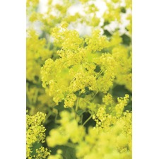 Alchemilla Seeds - (Lady's Mantle) Giant Molly (Non Organic)