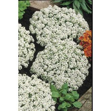 Alyssum Seeds - Carpet of Snow (Non Organic) 414380