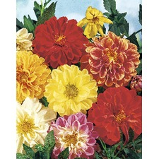 Dahlia Seeds - Earlybird Mix 420111