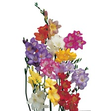 Freesia Single Mix Bulbs - (15) ORGANIC