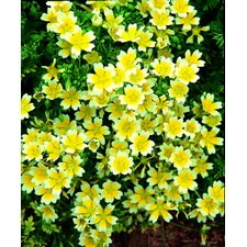 Limnanthes Seeds - Douglasii (Poached Egg Plant)