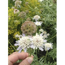 Scabious Drumsticks
