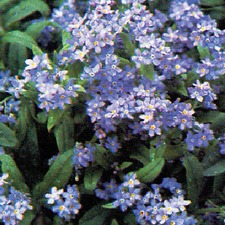 FORGET ME NOT Blue (non organic) FFMN