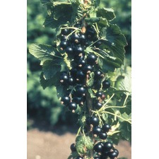 Blackcurrant Plant - Ben Connan 1 plant (Organic) (Early) 783643
