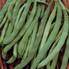 FRENCH BEAN Canadian Wonder (organic) FBCA