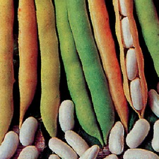 FRENCH BEAN Cannellino (organic)
