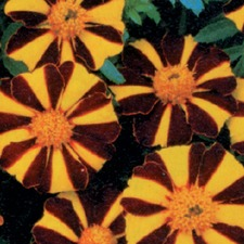 MARIGOLD FRENCH Mr Majestic (non organic)