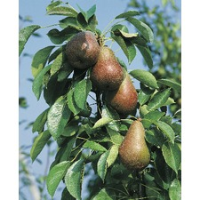 Pear Tree - Beurre Hardy (Organic) (1820) Bare Root 783062