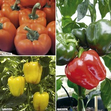 PEPPER GRAFTED (SWEET) COLLECTION
