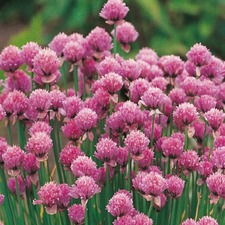CHIVES, 3 plants (organic) WCHV