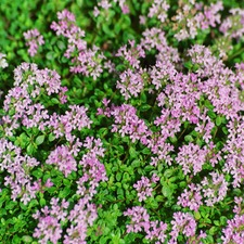 THYME English, 3 plants (organic) WTHY