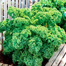 Gourmet Brassica Plant Collection (30 Plants) - Organic 784600