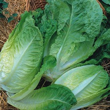 Autumn Planting WINTER LETTUCE Winter Density, 10 plants (organic) VLEW