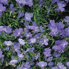 LOBELIA Cambridge Blue (non organic) FLCB