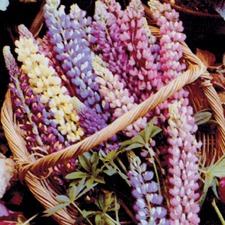 LUPIN Russell Blended Mixed (non organic) FLRH
