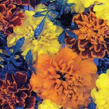 MARIGOLD FRENCH Dwarf Double Mixed (non organic)
