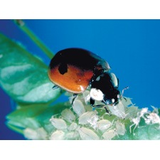 Ladybirds - Pack of 25 Adults