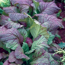 MUSTARD GREENS Giant Red (organic) ORGR