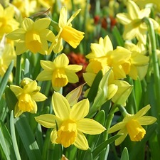 Narcissus Bulbs - Tete a Tete (5)