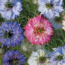 NIGELLA Persian Jewels (non organic)