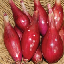 ONION Long Red Florence ORGANIC SAVER PACK