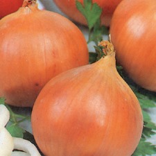 ONION SETS Centurion F1, 5 packs (organic) OSCE1