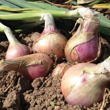 Onion Sets - Keravel Pink, 250gm (non organic) OSKP
