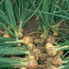 ONION SETS Santero F1, 5 packs (organic) OSSO1