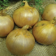 ONION SETS Sturon (organic) OSST