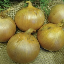 Onion Sets - Sturon, 5 Packs (Organic) OSST1