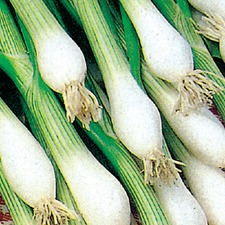 Autumn Planting SPRING ONION White Lisbon Winter, 10 plants (organic) VONW