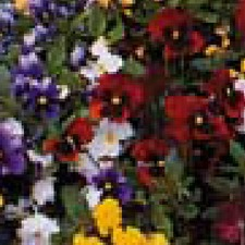 PANSY Winter Flowering Mixed (non organic)