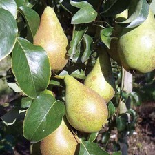 PEAR TREE Concorde Quince A Rootstock (organic) PTCN