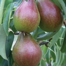 Pear Tree - Louise Bonne of Jersey (Organic) (1780) Bare Root 783663