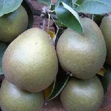 PEAR TREE Worcester Black Quince A Rootstock 3.6-4.6m (organic) PTWB