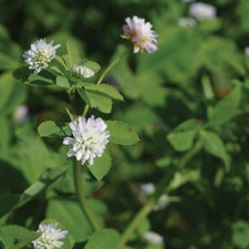 PERSIAN CLOVER, 112g pack (organic) GCPE