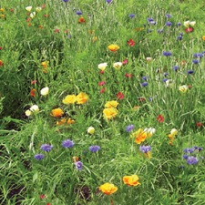 PICTORIAL MEADOWS Contrasting Mix, 10g pack (non organic) FMCM2