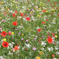 MEADOW ANNUALS Short Mixture, 250g pack (non organic) FMXS5