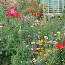 MEADOW ANNUALS Standard Mix, 10g pack (non organic) FMXD2