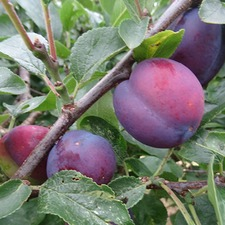 PLUM TREE Herman (organic) PTHM