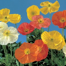 POPPY Wonderland Mixed (non organic)