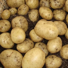 POTATO Casablanca 1kg ORGANIC