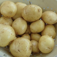 POTATO Orla, 1.5kg pack (organic) POOL