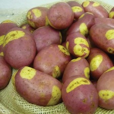 POTATO Pink Gypsy, 1.5kg pack (organic) POPG