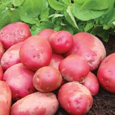 POTATO Red Duke of York, 2.5kg pack (non organic) PNRD