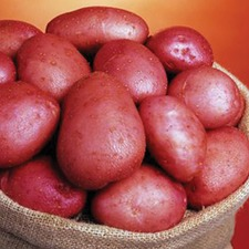 POTATO Setanta, 1kg pack (organic) POSE