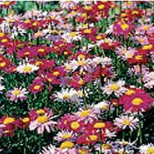 PYRETHRUM Single Mixed (non organic)