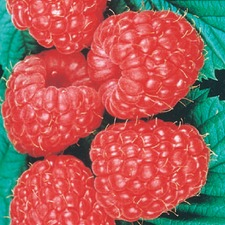 RASPBERRY Glen Ample, 10 plants (non organic) RPGA