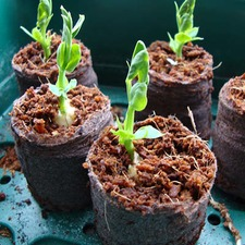 SEED STARTERS, pack 25 SEST