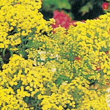 SOLIDAGO Yellow Springs (non organic)